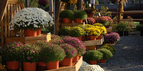Fall flowers at Del Vacchio Garden Center